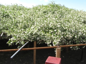 Tombstone's famous rose tree